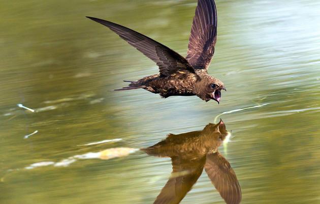 How Do Birds Drink on the Fly?