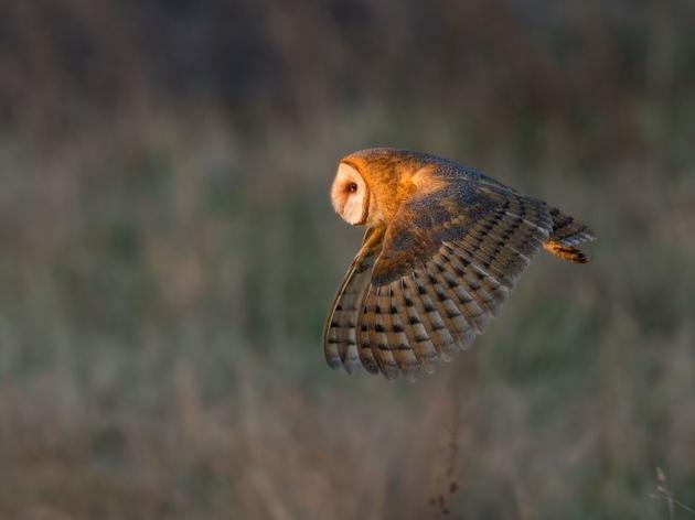 Flying High: Barn Owls