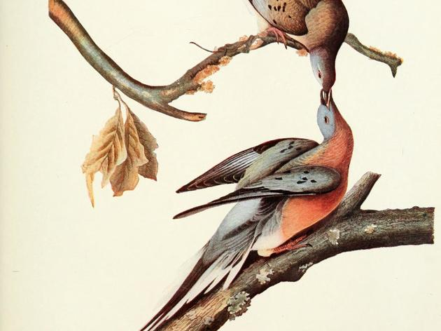 Billions to none... the extinction of the Passenger Pigeon