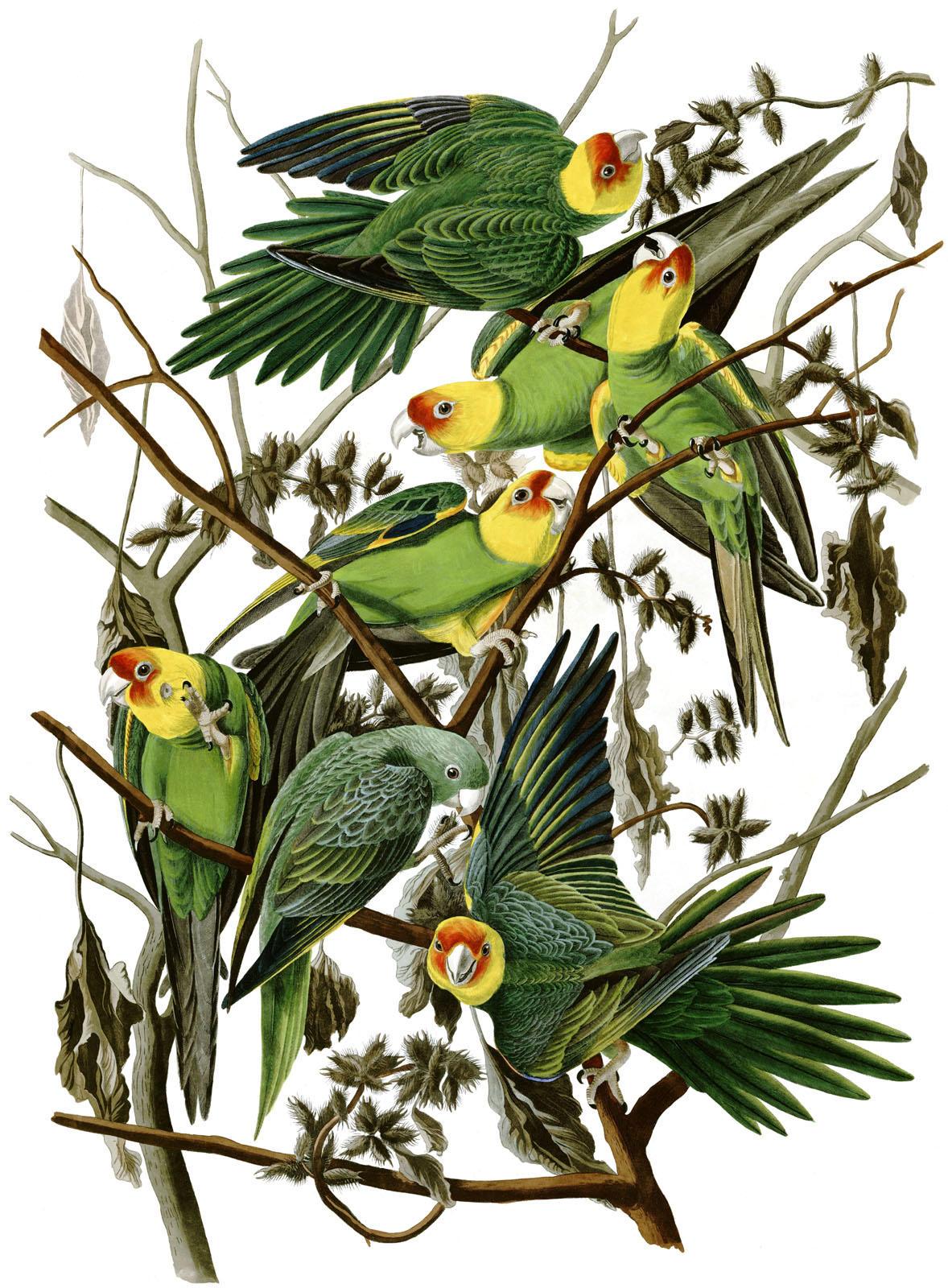 The last Carolina Parakeet | John James Audubon Center at